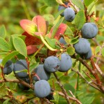Tok, Alaska is a great place for blueberry picking
