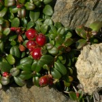 lowbush-cranberries abound at Cloudberry Cabin in Tok, Alaska